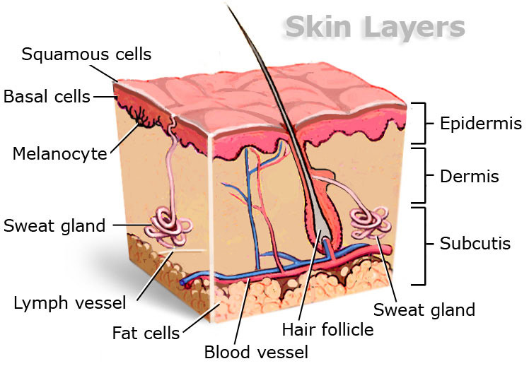integumentary - it's more fun in anaphy!, Human body